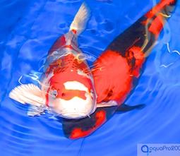 * Koi Shop - Koi & Teichfische