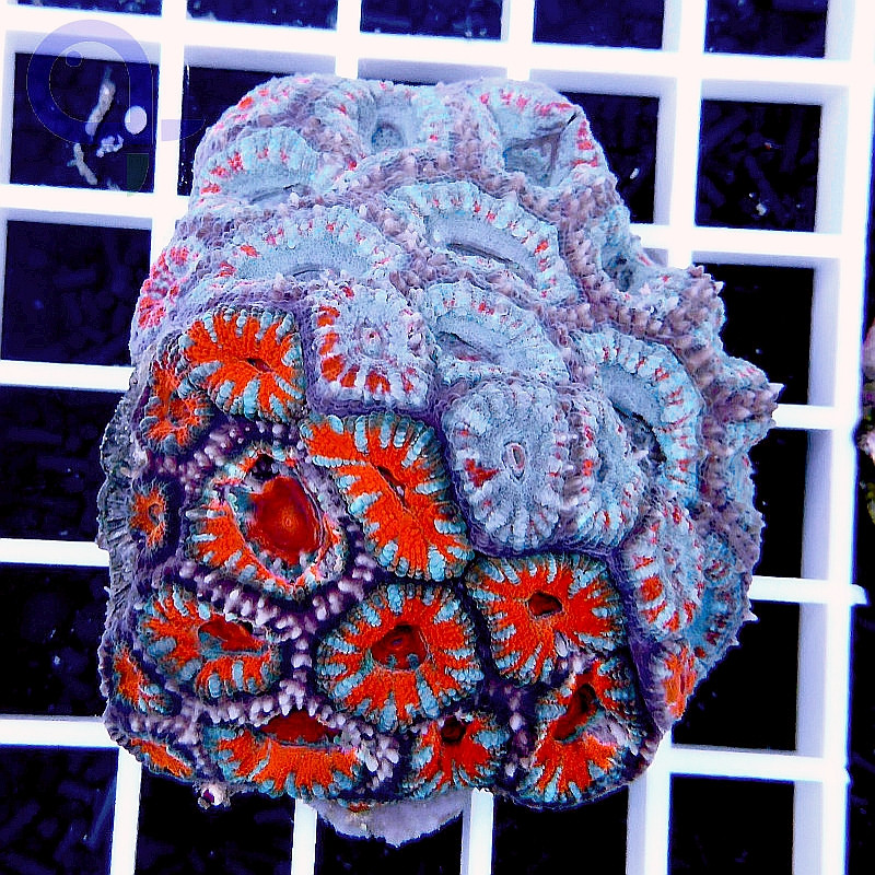 """Acanthastrea lordhowensis Splitcolor """"Fire N Ice"""""""