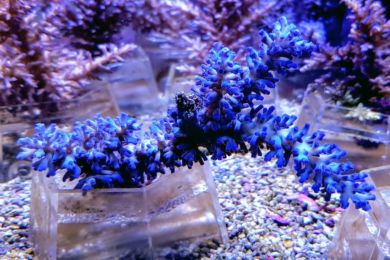 Acropora echinata - Ice Fire