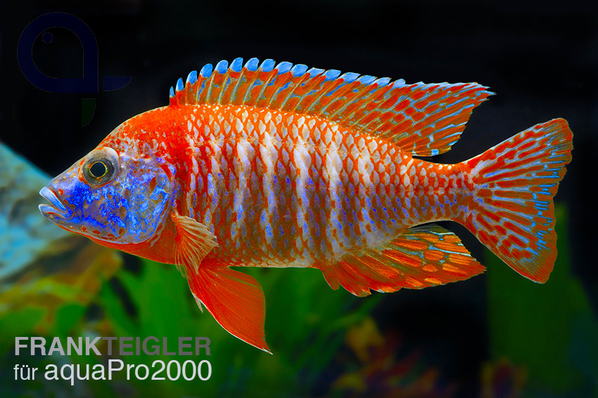 "Aulonocara sp. ""Red Rubin"""