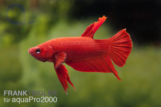 Kampffisch (einfach) Männchen