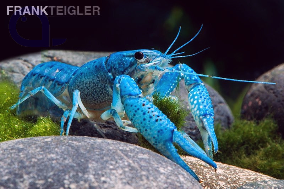 Blauer Floridakrebs - Procambarus alleni - DNZ