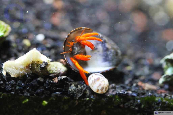 Clibanarius rutilus - Orangeroter Einsiedlerkrebs