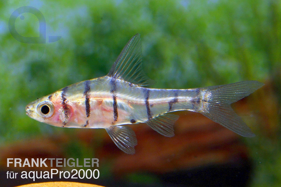 Achtbinden-Trugbarbe - Eirmotus octozona