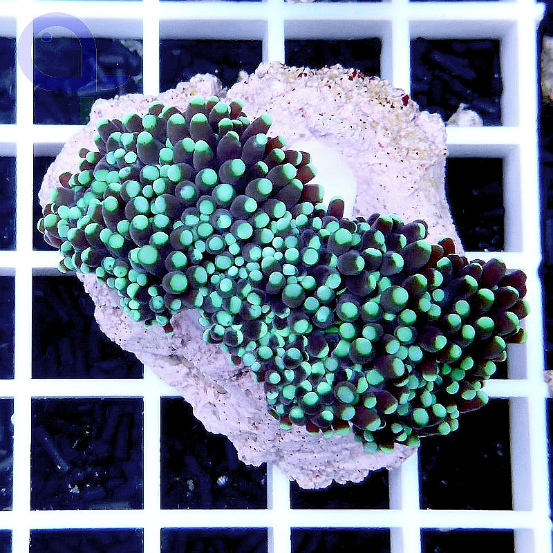 "Euphyllia glabrescens ""Blue Torch"""