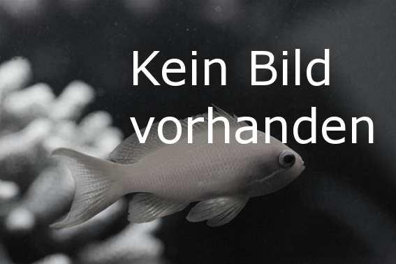 Kampffisch Rot Crowntail - Männchen - Betta splendens