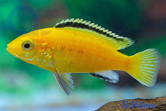 Labidochromis yellow - Labidochromis caeruleus