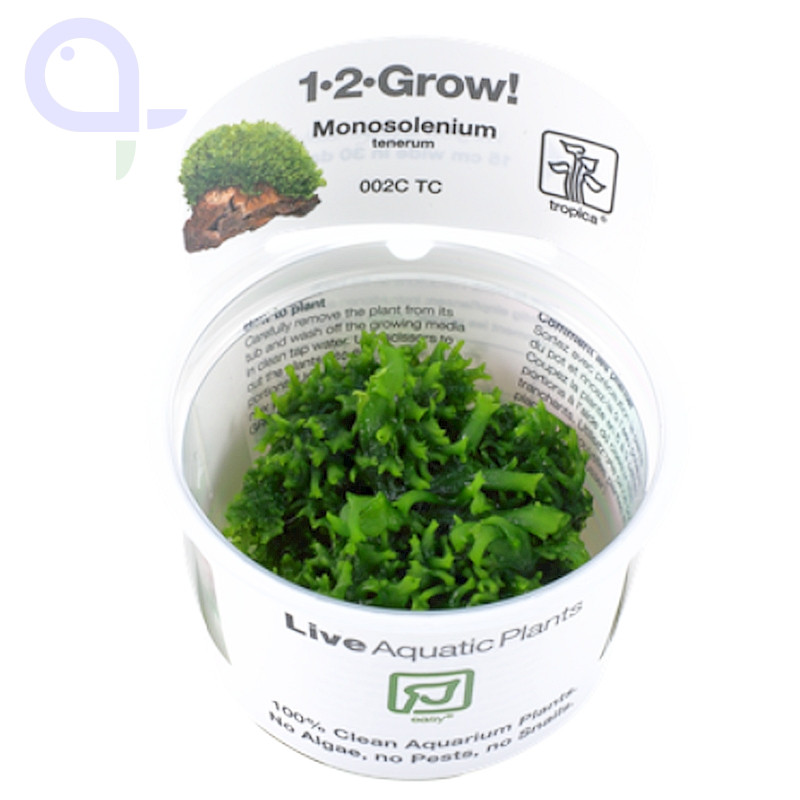 Zartes Lebermoos - Monosolenium tenerum - 1-2-Grow