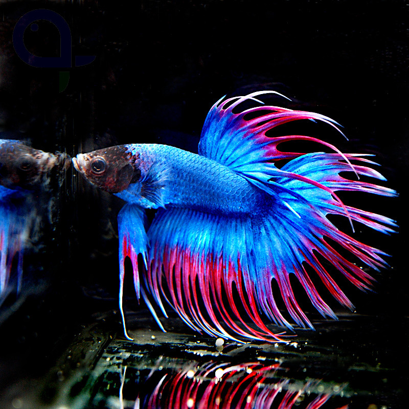 """Kampffisch Crowntail """"Red Spike"""""""