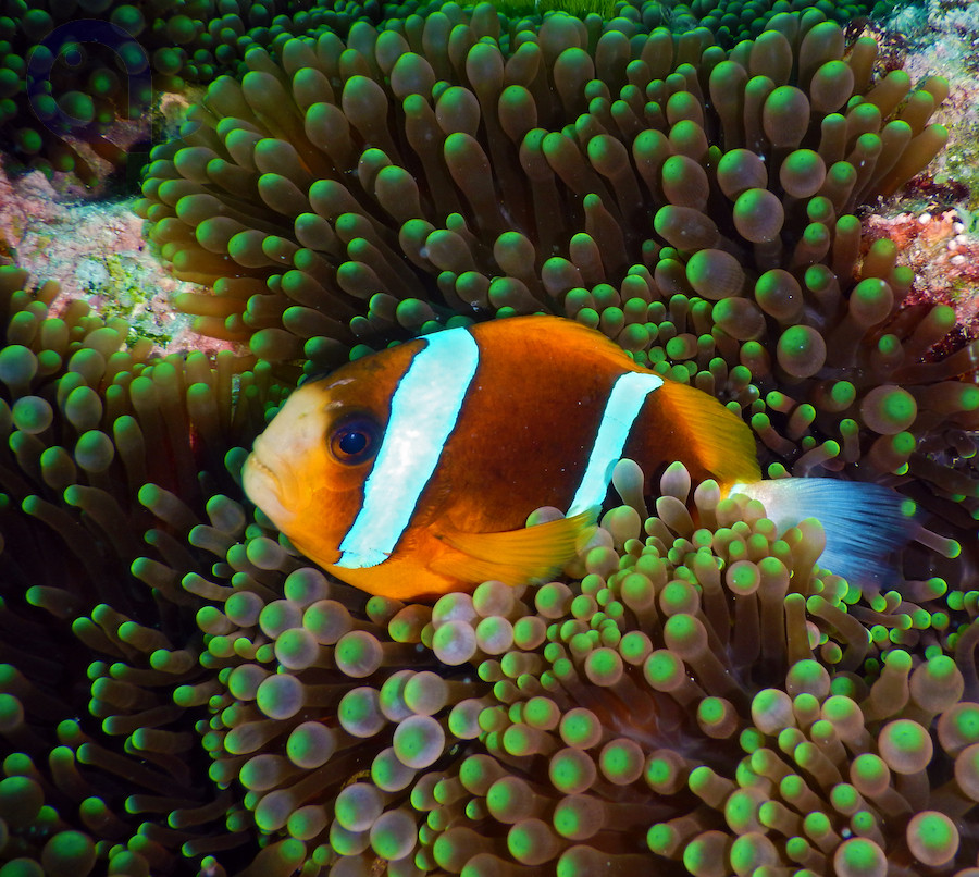 Amphiprion akindynos - Barriere-Riff-Anemonenfisch