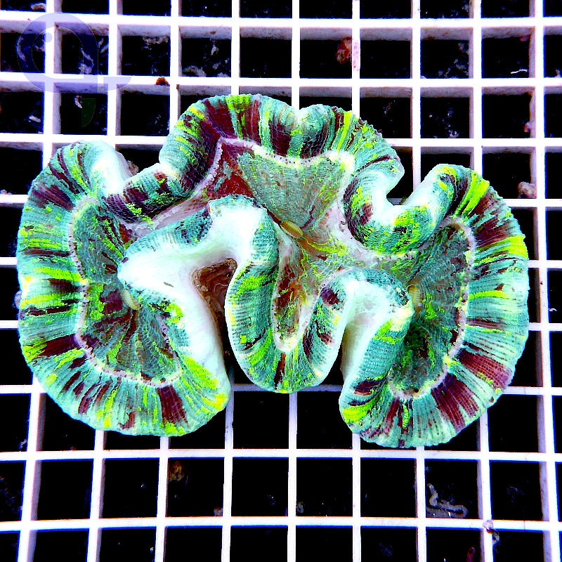 "Trachyphyllia Rainbow ""Green Flash"""