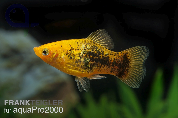 Platy Gold-Tuxedo - Xiphophorus maculatus