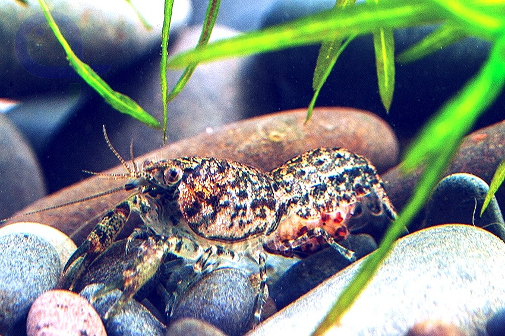 Blauer Zwergflusskrebs - Cambarellus diminutus