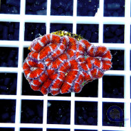 Acanthastrea Frag Rot-Weiss