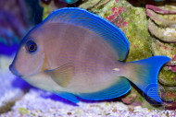 Acanthurus coeruleus - Blauer-Doktorfisch