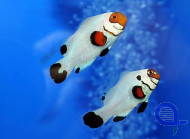 Amphiprion ocellaris - Whyoming White