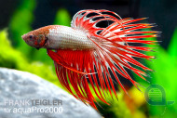 Kampffisch Crowntail Männchen