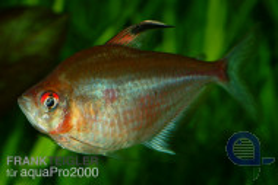 Kirschflecksalmler - Hyphessobrycon socolofi