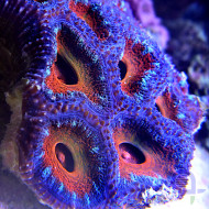 Acanthastrea lordhowensis Ultra - Detail