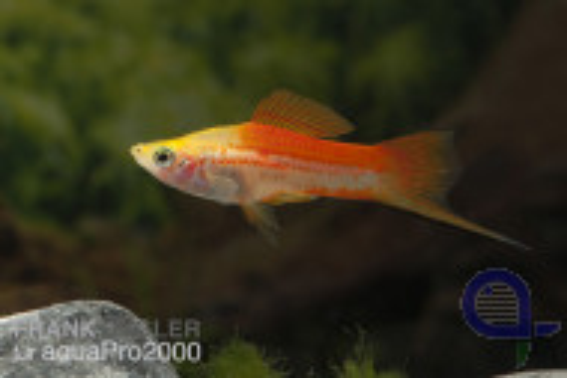 Ananas Schwertträger - Xiphophorus helleri
