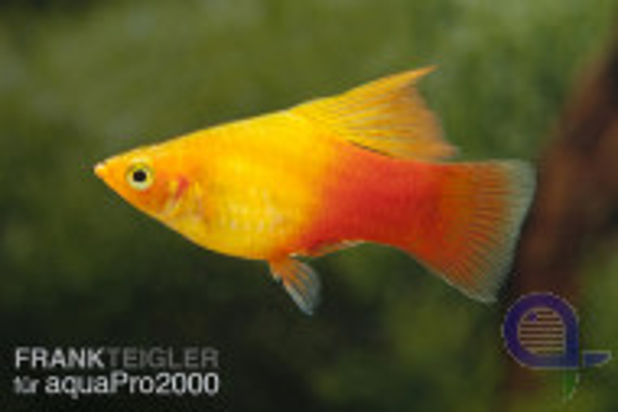 Papageienplaty Simpson - Xiphophorus variatus