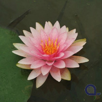 Seerose rosa - Nymphaea Witfron Gonnere