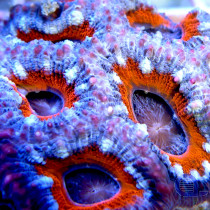 "Acanthastrea lordhowensis ""Rings of Fire"""