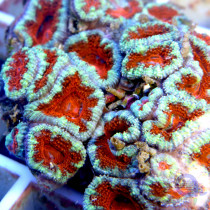 "Acanthastrea lordhowensis ""Candy Apple"" Detail"