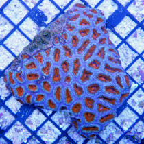 Acanthastrea bowerbank red