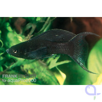 Black Molly Lyratail - Poecilia sphenops