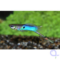 Endler Guppy Japan Blue -Paar- Poecilia wingei