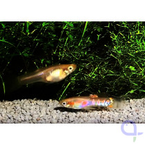 Endler Guppy - Ginga Rubra blond - Poecilia wingei Paar