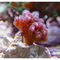Pocillopora damicornis Pink Ableger