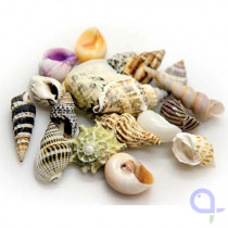 Hobby Sea Shells Set 20 Stück
