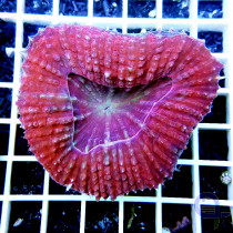 Scolymia vitensis Multicolor Pink