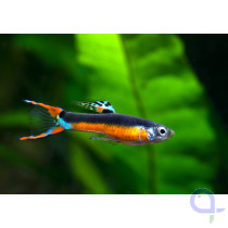 Endler Guppy - Poecilia wingei - Santa Maria Bleeding Heart