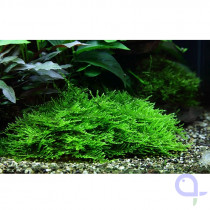 Taxiphyllum Spiky - Stachelmoos 1-2 Grow im Aquarium