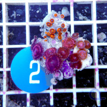 Zoanthus sp. Pink-Orange Frag