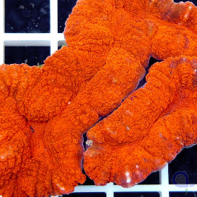 Lobophyllia Orange-Rot Ultra
