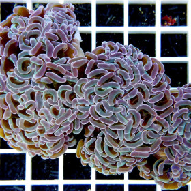 Euphyllia ancora Purple-Blue