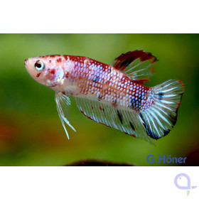 Kampffisch Plakat Candy - Betta splendens