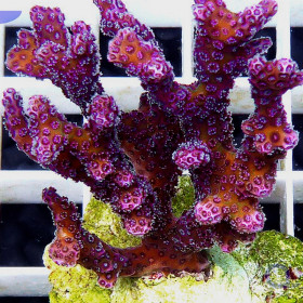 "Pocillopora ""Strawberry"""