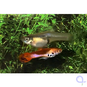Endler Guppy - Roter Tiger - Poecilia wingei