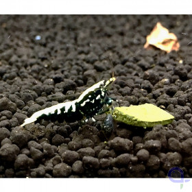 Skyfish Black Galaxy Fishbone, high grade - Caridina sp