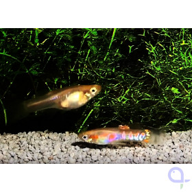 Endler Guppy -Paar- Ginga Rubra blond - Poecilia wingei