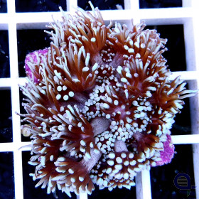 "Goniopora sp. ""White Tips"" Ableger"