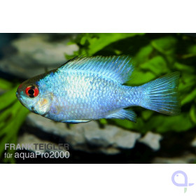 Schmetterlingsbuntbarsch Electric Blue - Mikrogeophagus ramirezi