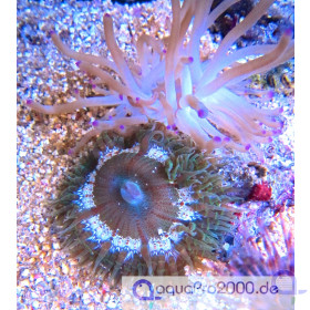 Phymanthus crucifer - Coulored - Perlenanemone