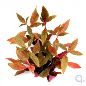 Alternanthera reineckii Red Ruby - Rubinrotes Papageienblatt