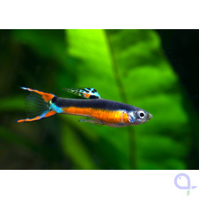 Endler Guppy - Poecilia wingei - Santa Maria Bleeding Heart -Paar-